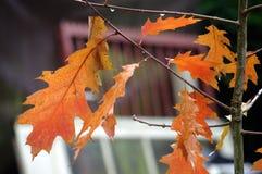 婴孩橡木叶子在秋天 免版税库存照片