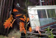 婴孩橡木在秋天 免版税库存照片