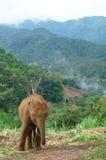 婴孩泰国大象 免版税库存图片