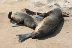 婴孩海封印饮用的母亲海滩,纳米比亚 免版税库存照片