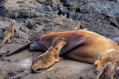婴孩海狮 免版税库存图片