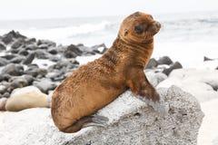婴孩海狮 库存照片