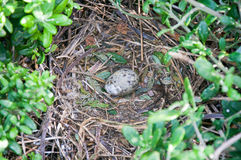 婴孩海鸥鸡蛋 库存图片