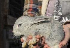 婴孩灰色兔子 库存图片