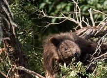 婴孩熊结构树 库存照片
