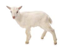 婴孩牛奶山羊 免版税库存图片