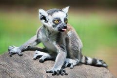 婴孩环纹尾的狐猴II 免版税库存图片