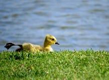 婴孩由湖的加拿大鹅戈斯林 库存图片