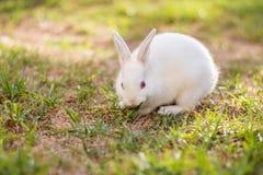 婴孩白矮星兔子 图库摄影