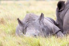 婴孩白色犀牛睡觉 库存图片