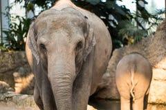婴孩的大象和走动它的母亲动物园的 免版税库存图片