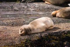 婴孩睡觉在岩石的海狮 库存图片