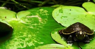 婴孩睡觉在维多利亚amazonica叶子的Terecay乌龟 免版税库存图片
