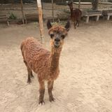 婴孩秘鲁羊魄微笑的骆马类pacos 免版税库存图片