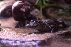 婴孩美国短吻鳄也叫Alligator mississippiensis 图库摄影
