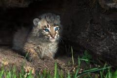 婴孩美洲野猫小猫(天猫座rufus)从日志看  免版税库存图片