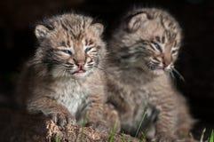 婴孩美洲野猫成套工具(天猫座rufus)一起坐 免版税库存照片