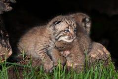 婴孩美洲野猫成套工具(天猫座rufus)在兄弟姐妹说谎 免版税库存照片