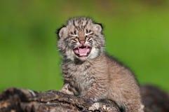 婴孩美洲野猫成套工具(天猫座rufus)在日志上面哭泣 免版税库存图片