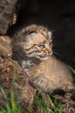 婴孩美洲野猫(天猫座rufus)在日志坐 免版税库存图片
