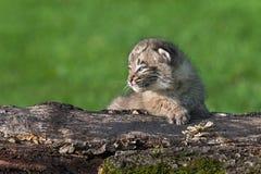 婴孩美洲野猫(天猫座rufus)在日志看得左 免版税库存照片