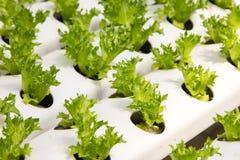 婴孩蔬菜栽培自温室 库存图片
