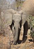 2009年婴孩被采取的大象照片 免版税库存图片