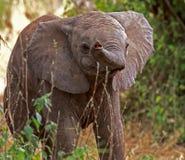 2009年婴孩被采取的大象照片 图库摄影