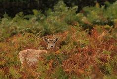 婴孩逗人喜爱的鹿 免版税图库摄影