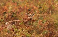 婴孩逗人喜爱的鹿 免版税库存照片