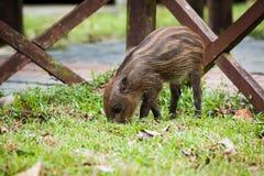 婴孩野公猪开掘的草 免版税库存照片