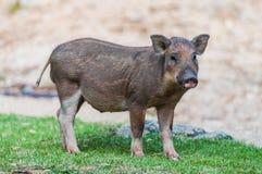 婴孩野公猪 免版税图库摄影