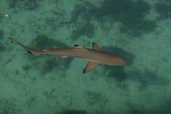 婴孩鲨鱼在海 免版税库存图片