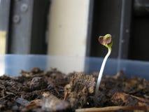 婴孩鳞茎植物 免版税库存图片
