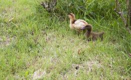 婴孩鸡和鸭子 免版税库存照片