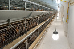 婴孩鸡在家禽场 免版税库存图片