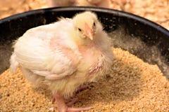 婴孩鸡 免版税库存照片