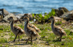 婴孩鸭子杂乱的一团由湖的边坐 免版税库存图片