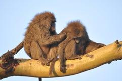 婴孩系列修饰她的短尾猿猴子母亲 图库摄影