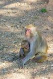 婴孩系列修饰她的短尾猿猴子母亲 库存照片