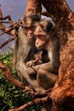 婴孩系列修饰她的短尾猿猴子母亲 库存图片