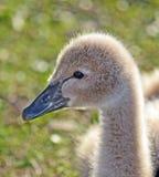 婴孩(小天鹅)澳大利亚黑天鹅 免版税库存图片