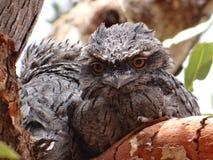 婴孩黄褐色的Frogmouth猫头鹰 免版税库存图片