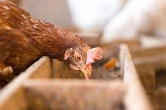婴孩养鸡场花格 库存图片