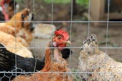 婴孩养鸡场花格 免版税库存照片