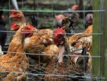 婴孩养鸡场花格 免版税图库摄影