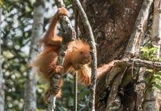 婴孩Bornean猩猩( 类人猿pygmaeus) Semenggoh圣所,婆罗洲 免版税库存图片