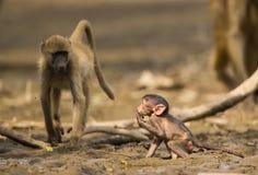 婴孩Chacma狒狒在泥的狒狒ursinus 免版税图库摄影