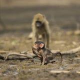 婴孩Chacma狒狒(狒狒ursinus)在泥 免版税库存照片