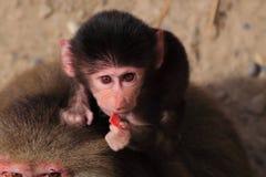 婴孩hamadryas狒狒吃 免版税库存照片